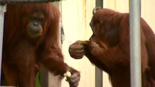 Menyaru celebrated the day with some fellow orangutans. (9NEWS)