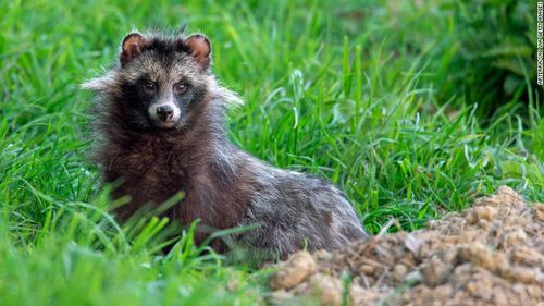 Raccoon dog (Nyctereutes procyonoides), invasive species in Germany emerging from its den.