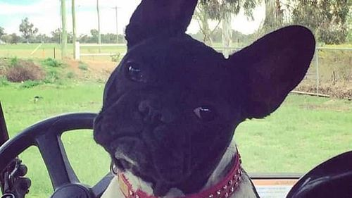 Jersey the French bulldog has been missing since January 20.