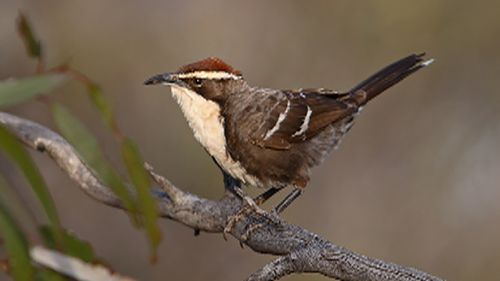 Scientists find Aussie songbird communicates in a similar fashion to humans