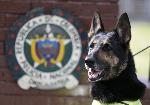 Colombian police recently revealed that the Gulf Clan, a cartel that boasts its own guerrilla army, has offered a reward of US$7000 (A$9450) to whoever kills or captures the savvy hound. Picture: EPA