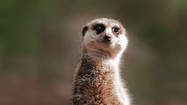 Meerkat Zoos Victoria