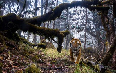 Tigerland by Emmanuel Rondeau