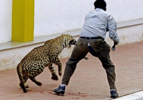 In 2016 three people were attacked when a leopard entered a school in Bangalore.