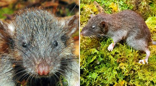 Aussie scientists discover new mammal the 'slender rat' on Indonesian island