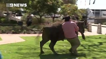 Runaway bull causes stir outside Parliament House