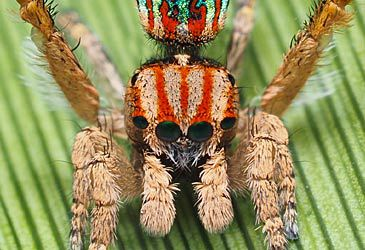 Daily Quiz: What is the common name of the Maratus genus of spiders?