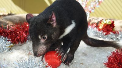There are only 10 percent of Tasmanian Devils left in the wild, 90 percent have vanished due to the deadly Devil Facial Tumour Disease (DFTD). (Source: Australian Reptile Park)