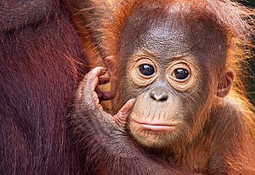 Daily Quiz: Orangutans are native to which two Asian nations?