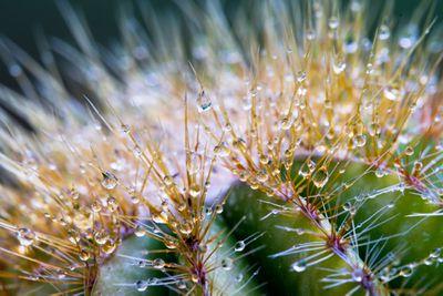 Fad: Cactus water
