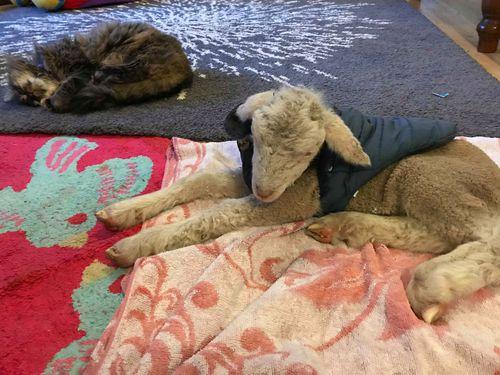 Leanne Heffernan, from Binalong NSW is among farmers hand rearing lambs.