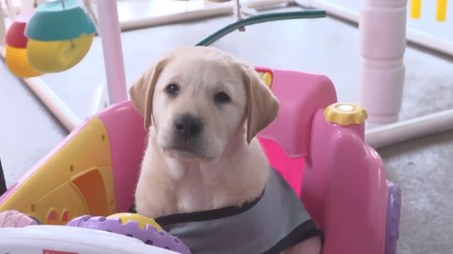 Guide dog puppy training Queensland