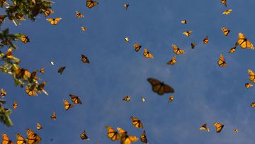Monarch butterflies fly in the Oyamel forest at El Rosario sanctuary in Angangueo, Michoacan state, Mexico.