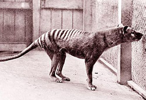 Tasmanian tiger (Getty)