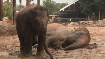 Elephants enjoy mud bath at Taronga Zoo