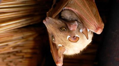 """Ebola and bats have been battling out an evolutionary war for thousands of years and have more or less come to a stalemate whereby bats are infected and the virus can reproduce itself, but bats are not killed,"" wrote Salford University's Professor Robert Young in <a href=""http://theconversation.com/take-bushmeat-off-the-menu-before-humans-are-served-another-ebola-32914"">The Conversation</a>."