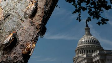 Cicadas climb up the side of a tree at the US Capitol in Washington. Billions of Brood X cicadas have begun to emerge after living underground for 17 years.