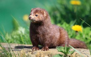 Spain orders cull of nearly 100,000 farmed mink after animals test positive for COVID-19