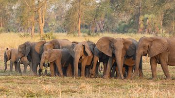 Some of the tuskless elephants in the Gorongosa National Park in Mozambique.