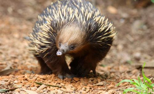 Matilda the echidna developed an allergy to ants and had to undergo a unique vaccine program to retrain her immune system.