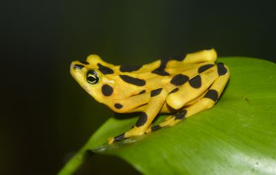 <strong>Panamanian golden frog</strong>