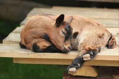 <p>Pygmy goat</p>
