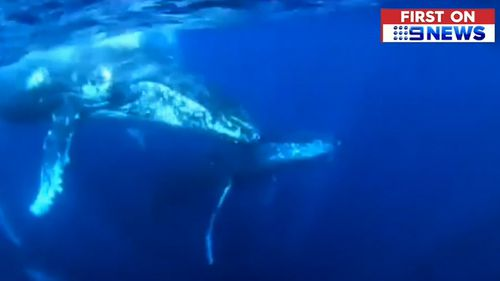 The juvenile whale swam underneath another boat before rolling on its back.