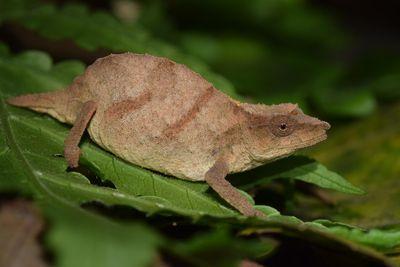 Tiny chameleons found alive