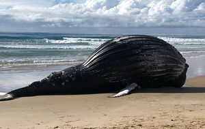 Fears whale would explode after washing up dead and bloated