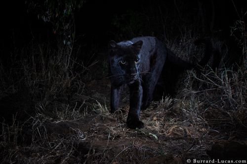 Melanism provides additional camouflage