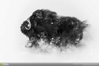Second Place, Wildlife: Deep snow