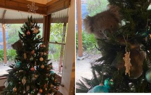 Koala makes itself at home in South Australian woman's Christmas tree after 'wandering in'