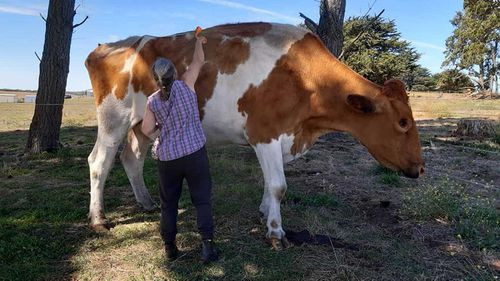 Big Moo was 190cm tall, making it one of Australia's biggest steers.