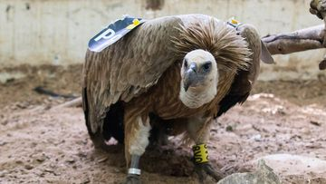"""The vulture accused of being an Israeli """"spy"""". (AFP)"""