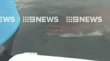 Massive great white shark swims up to family boat