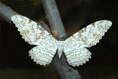 <strong>White witch moth</strong>