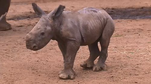 The Southern White Rhino is believed to have suffered internal blood loss after an incident involving older rhinos.