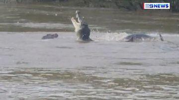 Crocodiles filmed fighting over dead buffalo on Northern Territory river