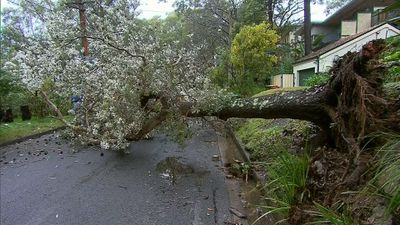 Tree down at Lane Cove, in Sydney's north
