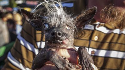 <p>A blind, 17-year-old Chihuahua named Sweepee Rambo has claimed the title of the world's ugliest dog. </p> <p>Awarded at Sonoma Marin Fair in California, the title comes with a US$1500 prize and a trophy. </p> <p>Sweepee beat 16 other pups for the award, which is judged on personality and appearance. </p> <p>Click through to see some of the other entries.</p>