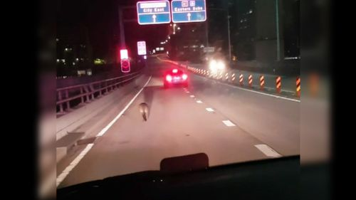 A number of motorists called in to report the wallaby.  (NSW Police)