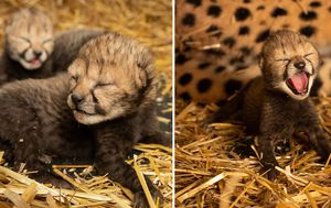 First ever cheetah cubs born using IVF and a surrogate