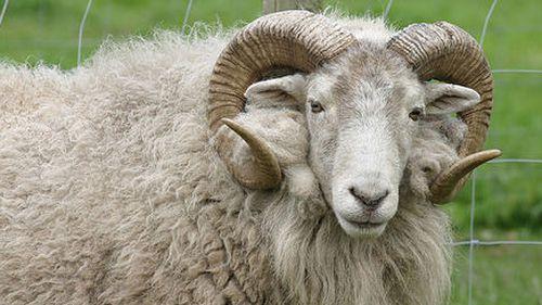 Rampaging sheep knocks over and kills 94-year-old Frenchman