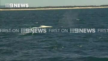 Migaloo spotted off Queensland coast