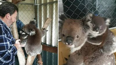 Lost baby koala's adorable reunion with mum