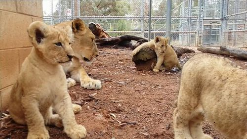 Dubbo zoo welcomes newborn lion cubs