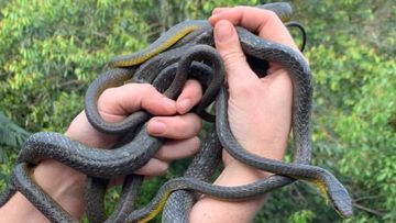 The catchers, from Wild Encounters on the Gold Coast, were called to a pile of Common Tree Snakes on a balcony in Currumbin.