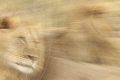 Vanishing Lions by Will Jenkins