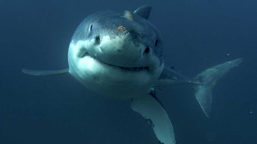 Sharks are on the decline around Australia.