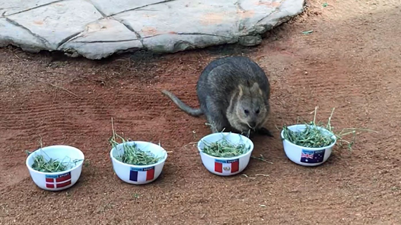 World Cup 2018: Davey the psychic quokka predicts which team will progress in Group C